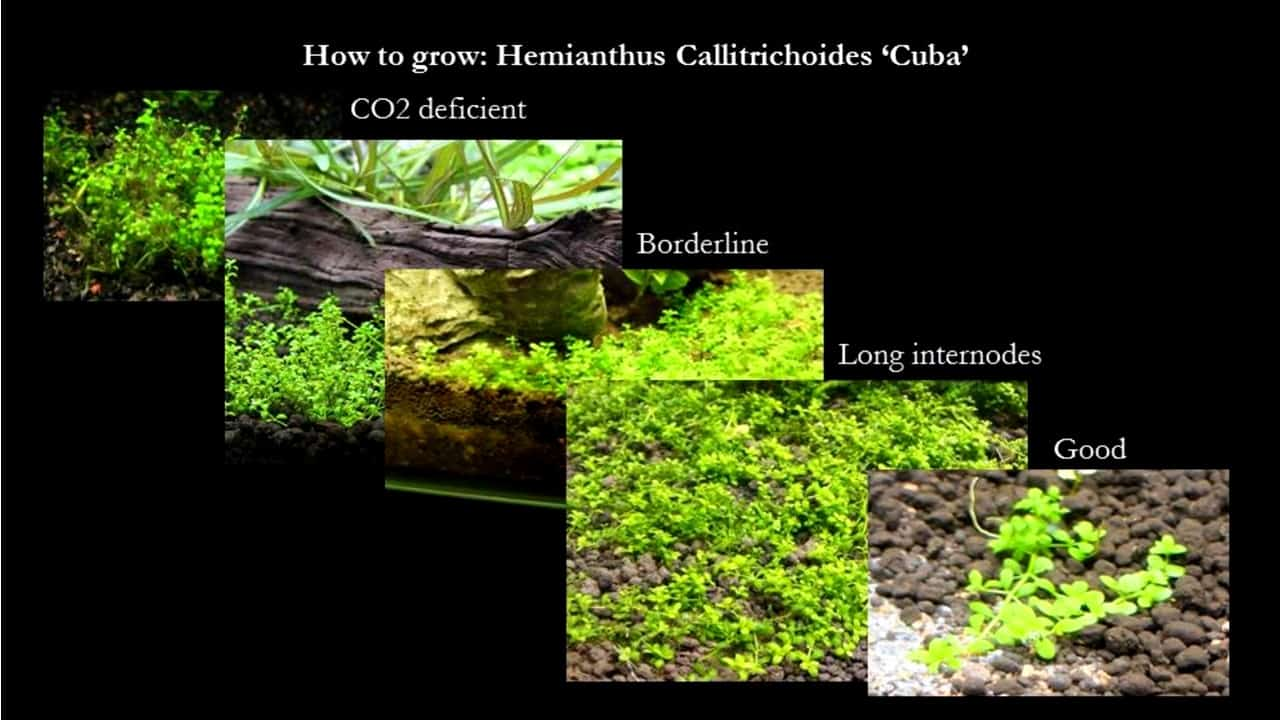 How to grow Hemianthus Callitrichoides