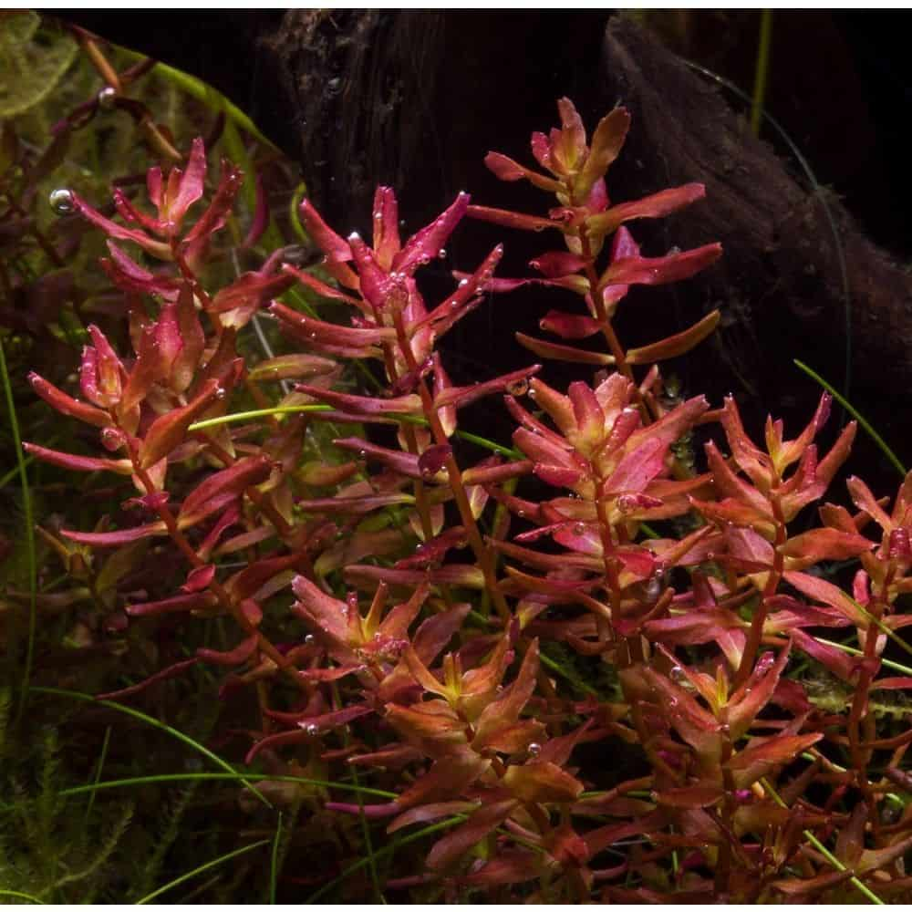 Giant Red Rotala
