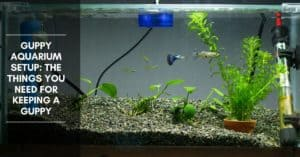 Guppy Aquarium Setup: the Things You Need for Keeping a Guppy