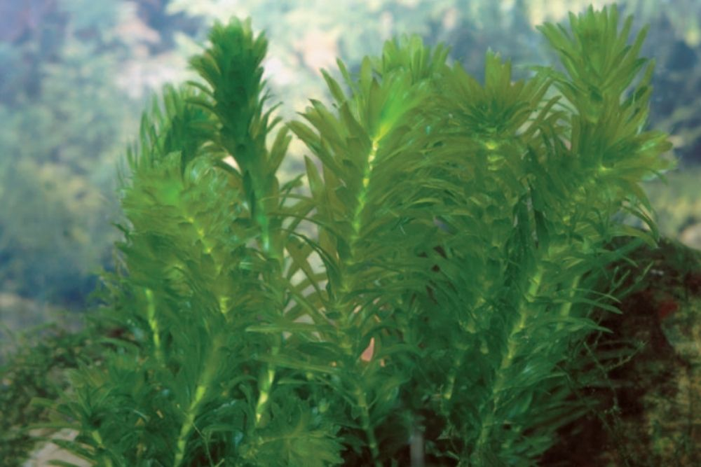 Anacharis are easy to care for, which makes them popular aquarium plants.