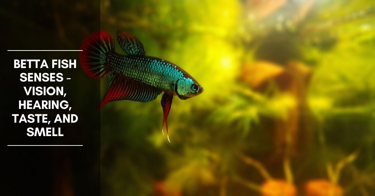 Betta Fish Senses – Vision, Hearing, Taste, and Smell