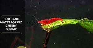 Best Tank Mates for Red Cherry Shrimp – Fish and Invertebrates