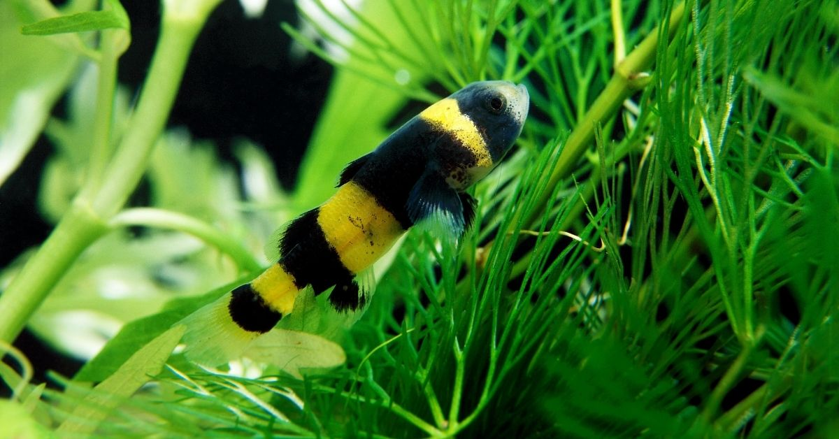 Can Bumblebee Goby Live with Shrimp on the Same Tank?