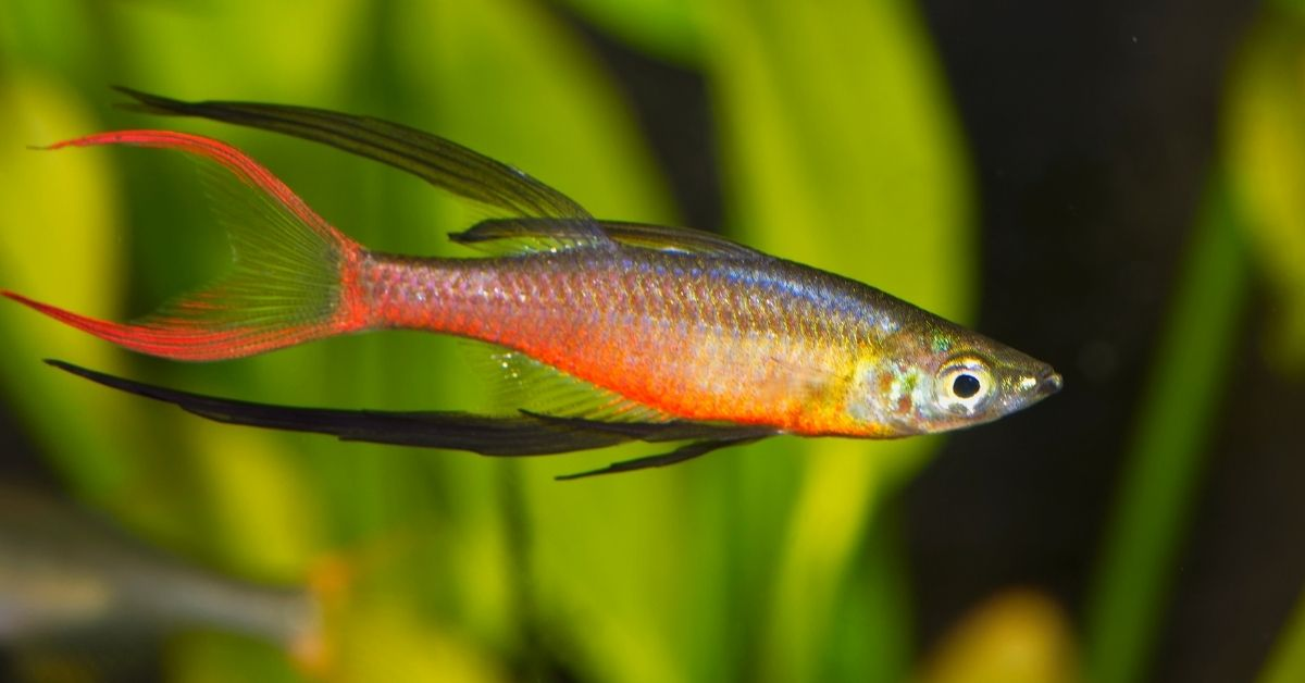 Threadfin Rainbowfish With Shrimp in Planted Tank