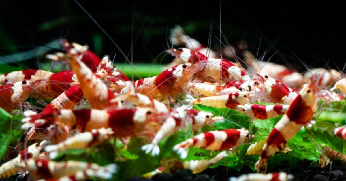 Can Neocaridina Shrimp Breed with Caridina Shrimp?
