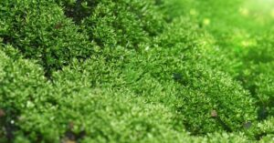 Christmas Moss Emersed: Will It Grow Outside of Water? Is It Easy to Grow?