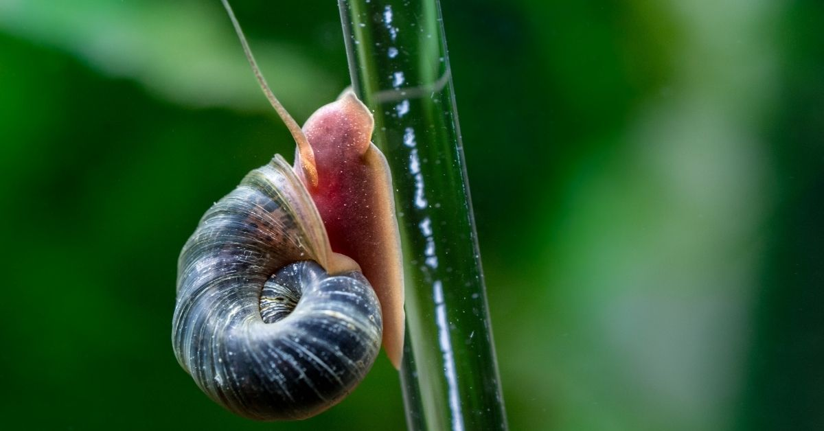 Ramshorn Snails: Do They Eat Plants? How to Get Rid of These Snails?