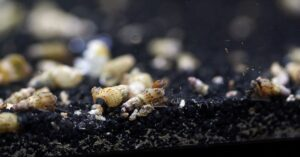 What Fish Eats Malaysian Trumpet Snails?