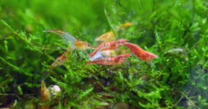 Will Shrimp Eat Fish Waste in Freshwater Tank?